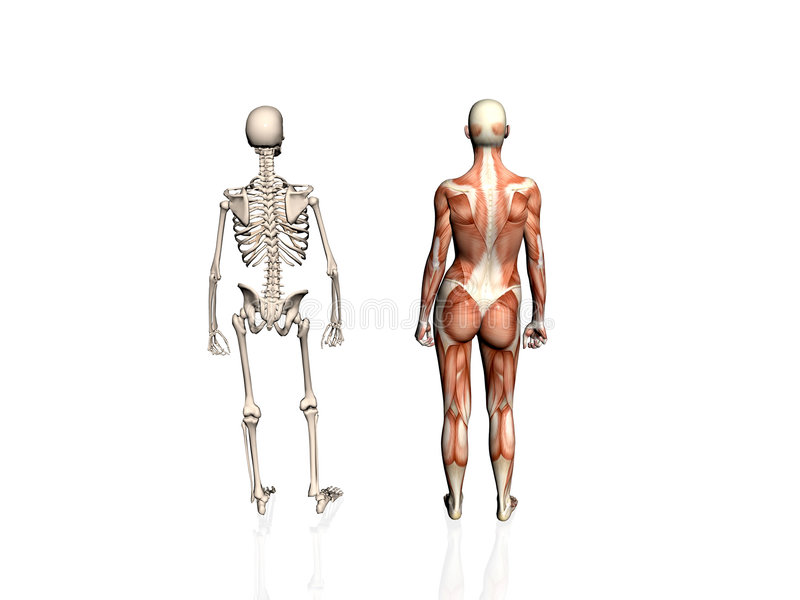 Download Anatomy Of The Woman With Skeleton. Stock Photography - Image: 192992