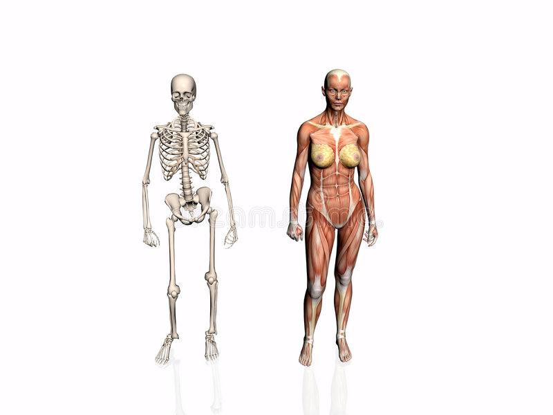 Download Anatomy Of The Woman With Skeleton. Stock Illustration - Image: 192993