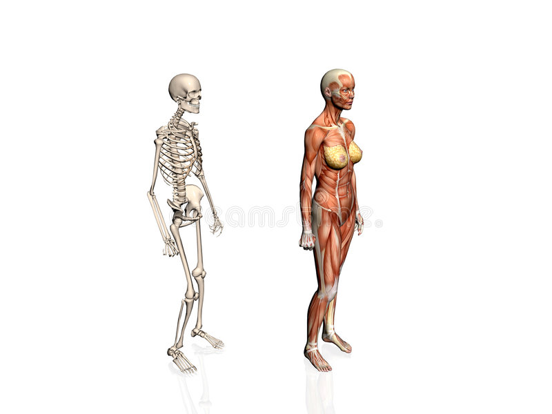 Anatomy Of The Woman With Skeleton. Stock Images