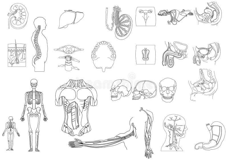 Anatomy1 imágenes de archivo libres de regalías