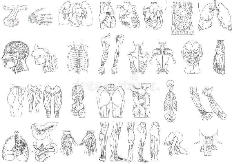 Anatomy2 imagen de archivo