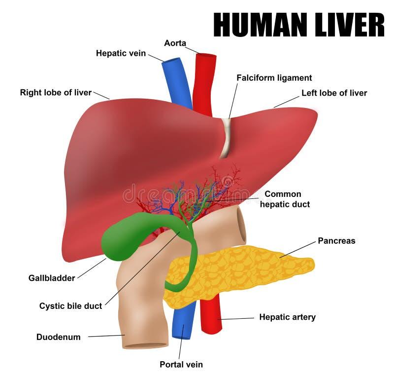 Anatomyof den mänskliga levern royaltyfri illustrationer