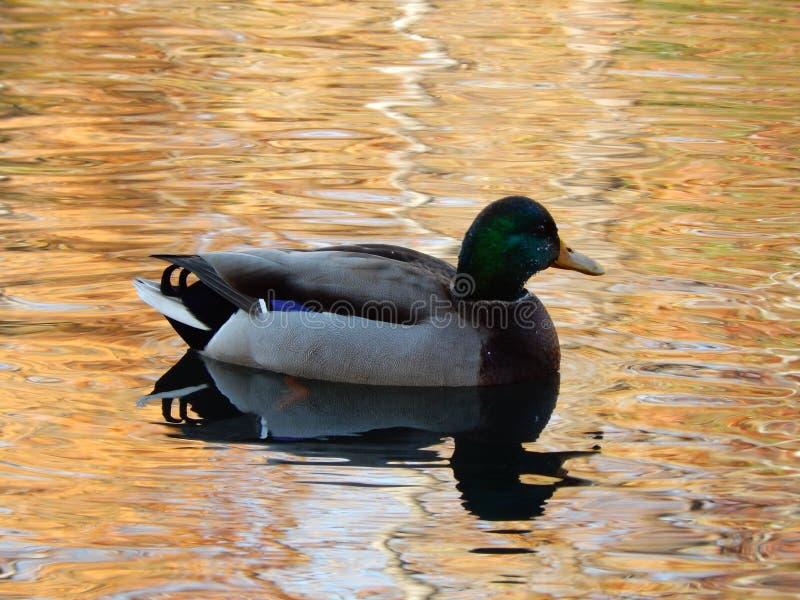 Anatra in acqua arancio fotografia stock libera da diritti