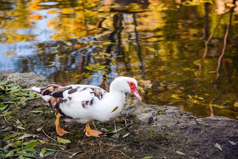 Anatra bianca in corso lungo la riva del lago; Foglie cadute autunno; Colori luminosi di autunno riflessi nell'acqua fotografie stock libere da diritti