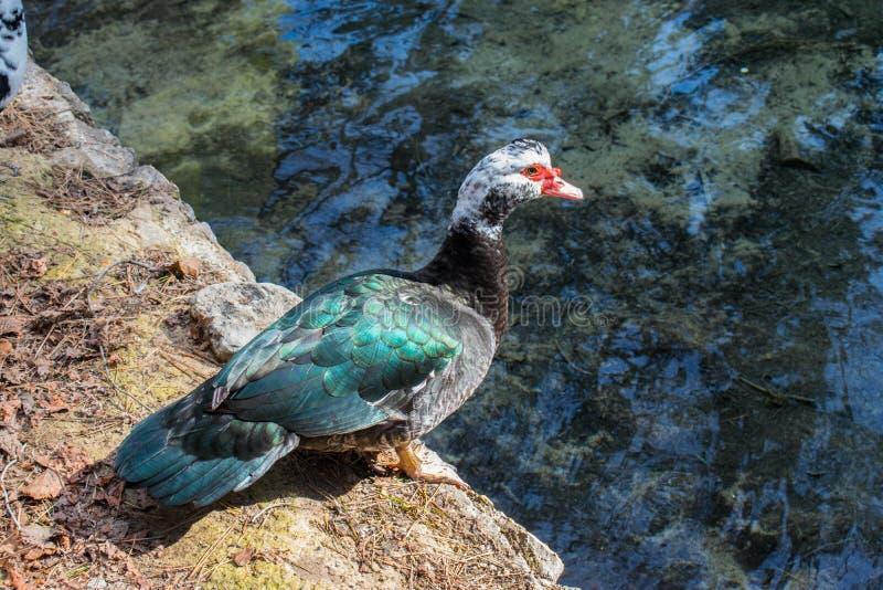 Anatra blu che aspetta per saltare al lago fotografia stock libera da diritti