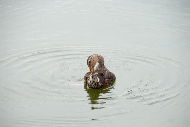 Anatra che galleggia su un lago che prende un bagno fotografie stock libere da diritti