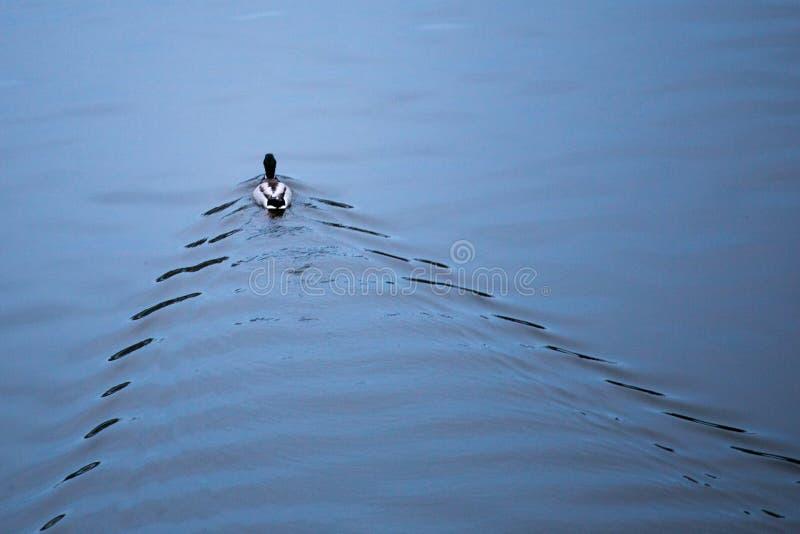 Anatra che galleggia sul fiume in avanti fotografie stock