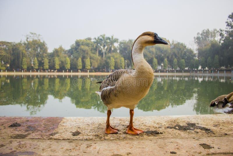 Anatra che sta davanti al lago immagine stock