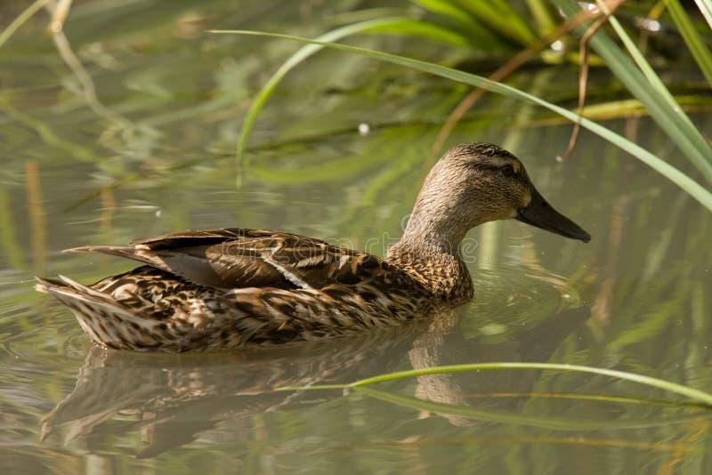 Download Anatra Del Germano Reale (femmina) Su Acqua Fotografia Stock - Immagine di wildlife, becco: 7303278