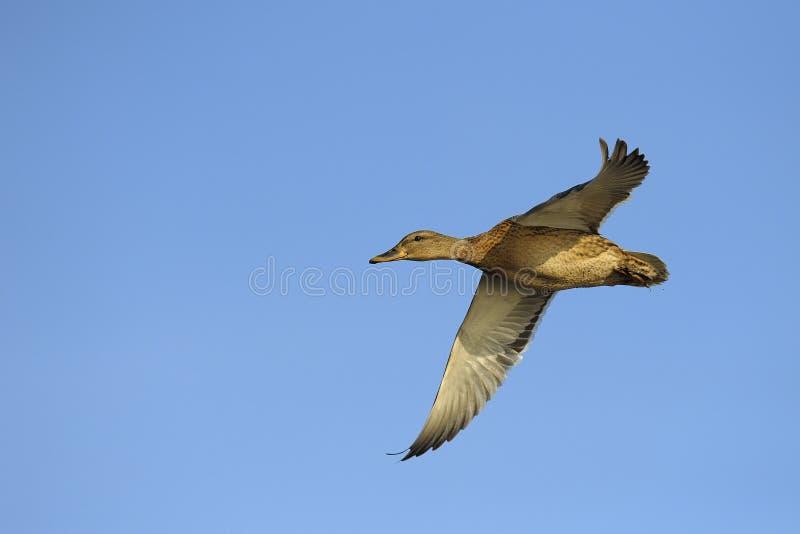Anatra del germano reale in volo fotografie stock