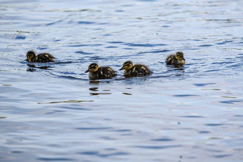 anatra della madre con i piccoli anatroccoli che nuotano in acqua del lago del fiume fra le ninfee fotografie stock