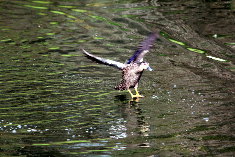 Anatra di atterraggio fotografie stock libere da diritti