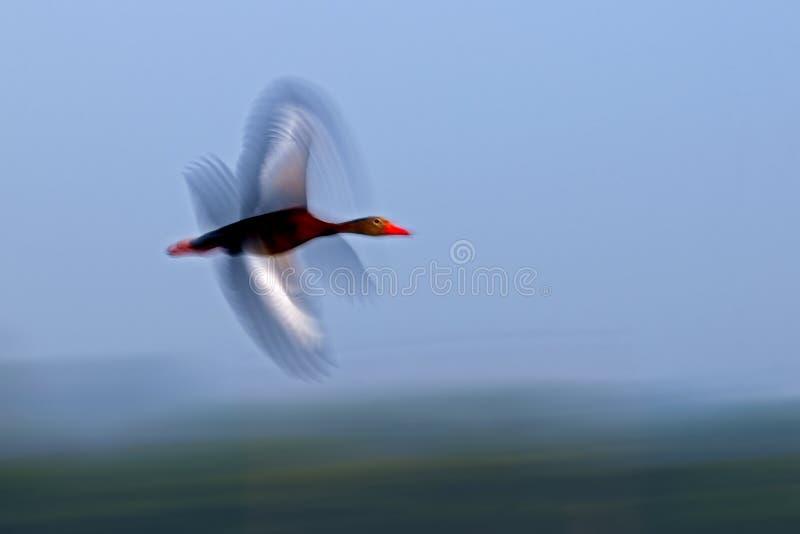 anatra di fischio Nero-gonfiata a Viera Wetlands, Florida immagini stock libere da diritti