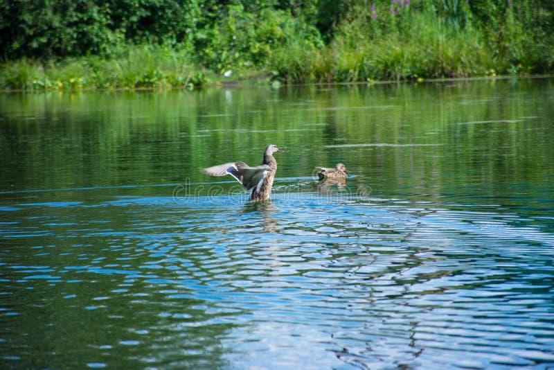 Anatra di galleggiamento su un lago blu immagini stock