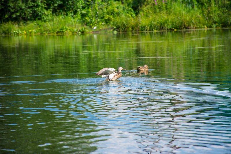 Anatra di galleggiamento su un lago blu fotografie stock libere da diritti