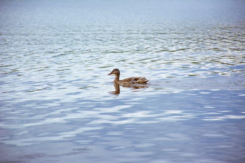 Anatra di galleggiamento su un lago blu fotografie stock