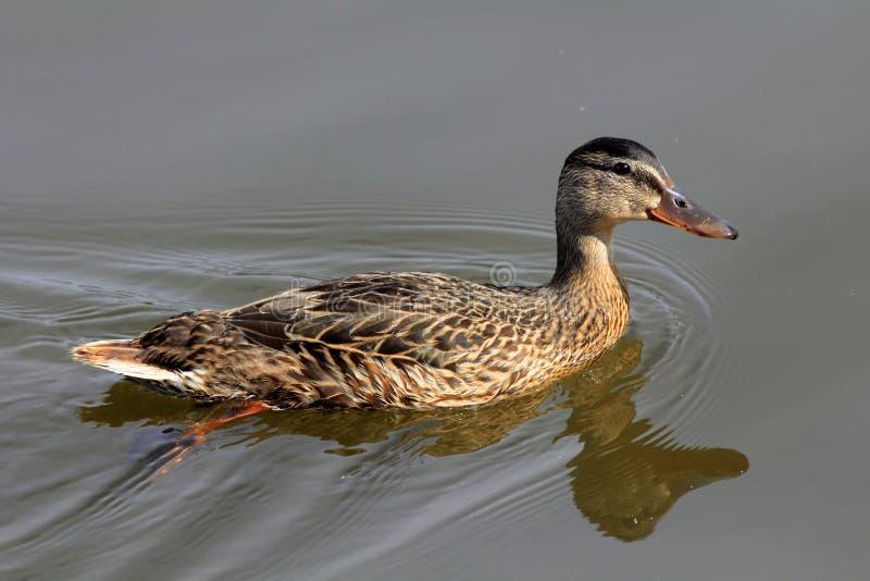 Anatra di Mallard (gallina) fotografia stock