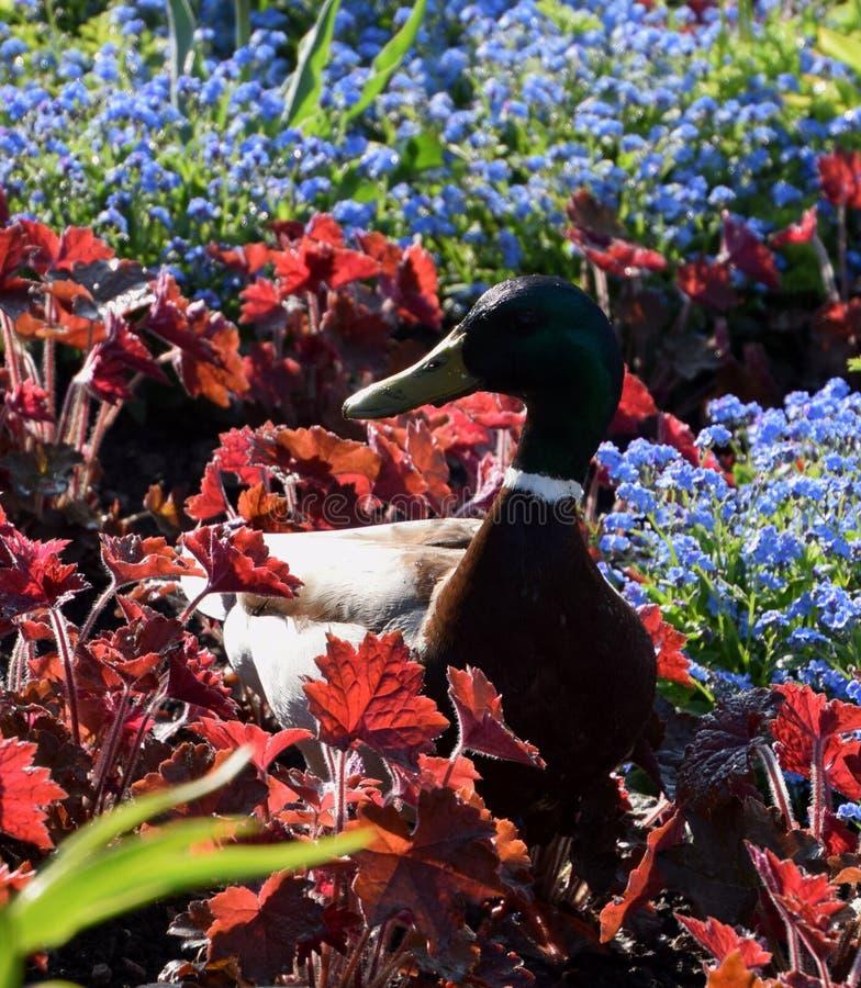 Anatra di Mallard in giardino fra i fiori del nontiscordardime fotografie stock libere da diritti