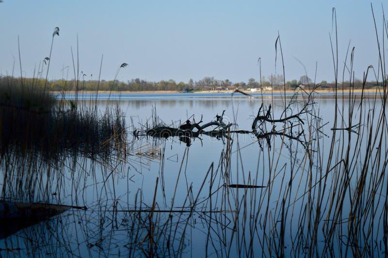 Anatra di Mallard su un ramo nel lago immagini stock libere da diritti