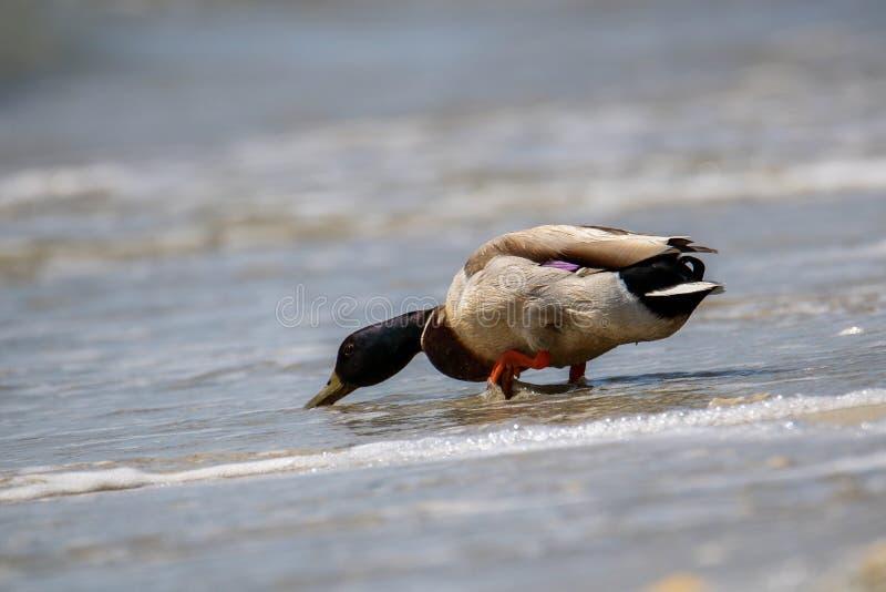 Anatra di Mallard sulla riva di mare fotografie stock