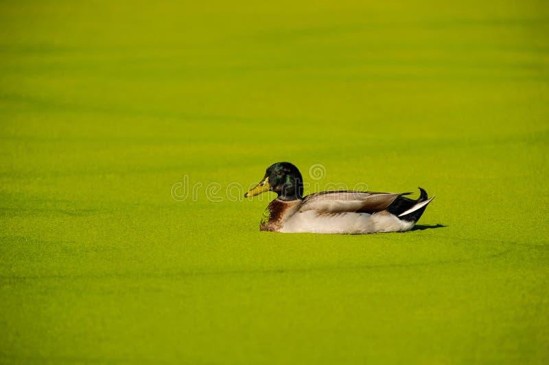 Anatra di Mallard in uno stagno delle alghe verdi immagini stock