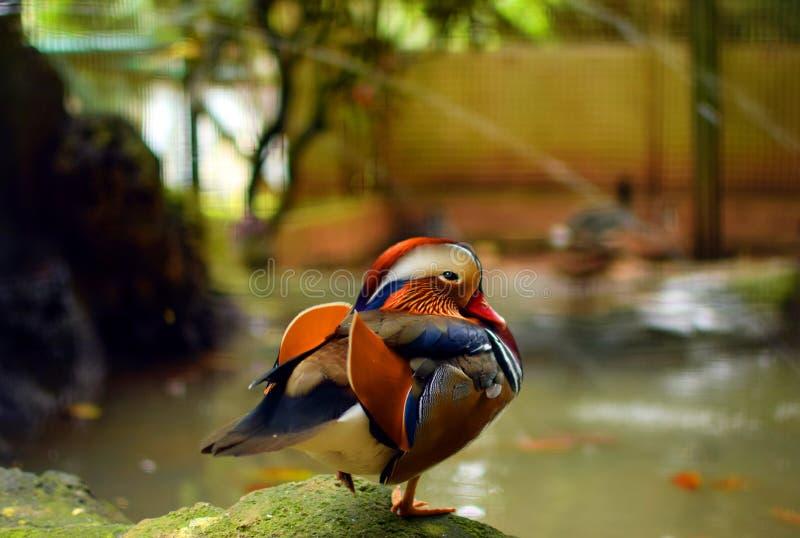 Anatra di mandarino dell'uccello acquatico di galericulata del Aix bella nel fondo dello zoo fotografie stock libere da diritti
