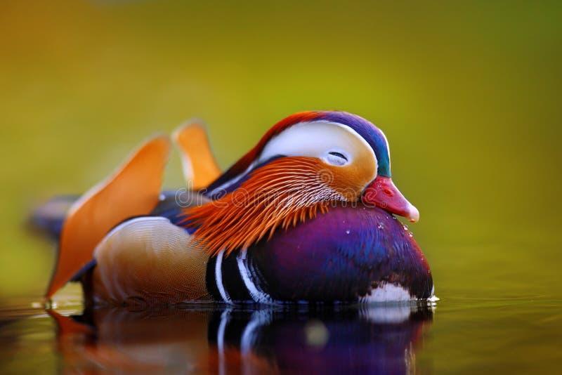 Galleggiamento e calma dell'anatra di mandarino sull'acqua fotografia stock libera da diritti