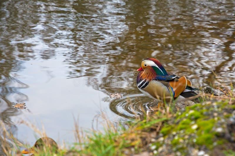 Anatra di mandarino sulla riva del lago immagini stock libere da diritti