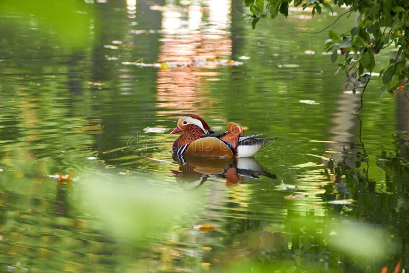 Anatra di mandarino variopinta Nuoto dell'anatra di mandarino nel lago Uccello con delle le piume colorate multi luminose Anatra  immagine stock libera da diritti
