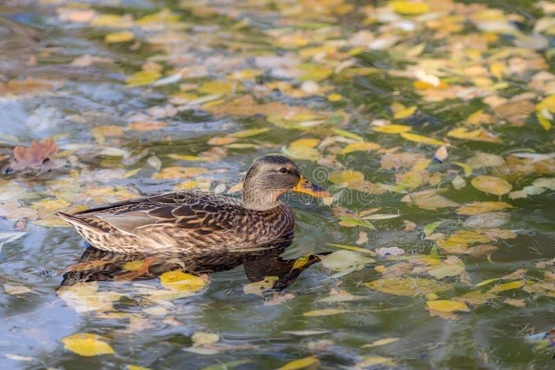 Anatra di nuoto in acqua di autunno fotografia stock libera da diritti