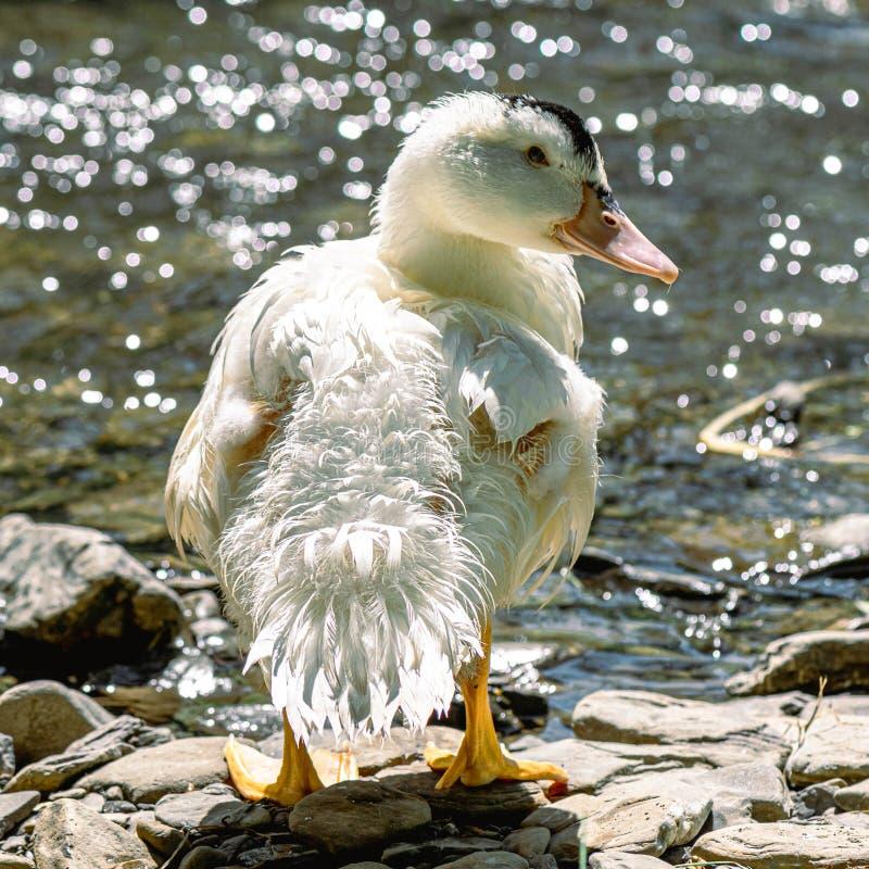 Anatra domestica bianca sullo stagno, supporti sulla riva rocciosa Uccelli della fauna selvatica dal fiume immagine stock libera da diritti