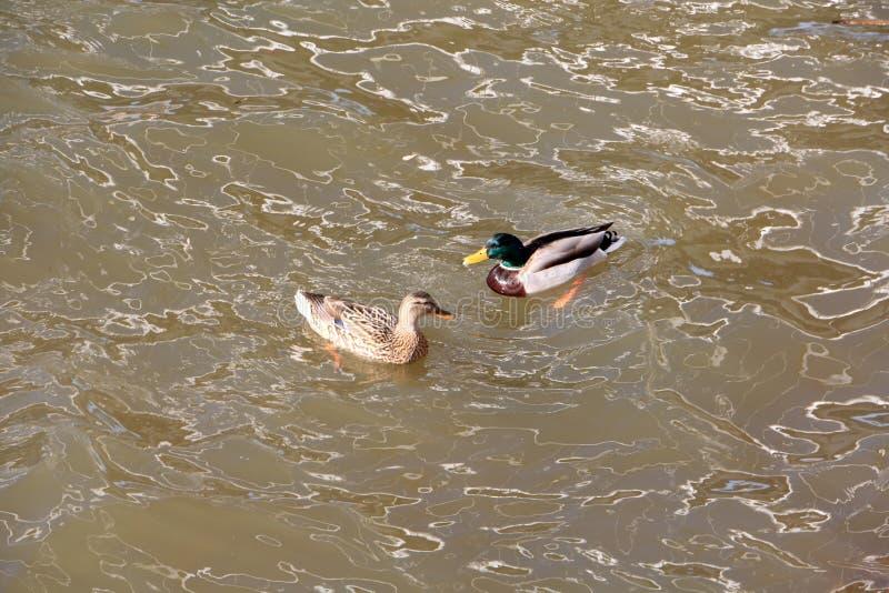 Anatra e maschio della data sulle onde del fiume della molla, su cui la natura ha dipinto i modelli insoliti immagine stock libera da diritti
