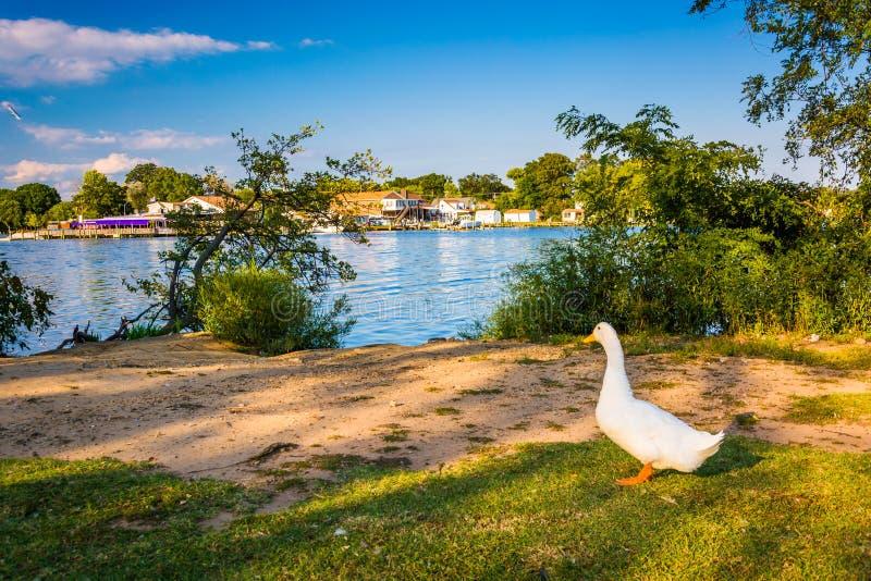 Anatra ed il fiume posteriore al parco del punto di Cox in Essex, Maryland fotografia stock