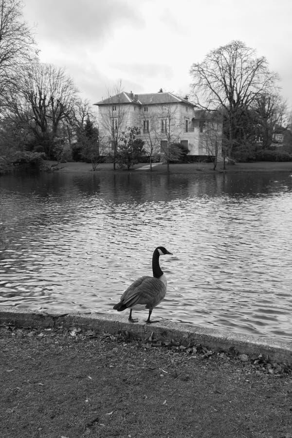 Anatra ed il lago fotografie stock libere da diritti