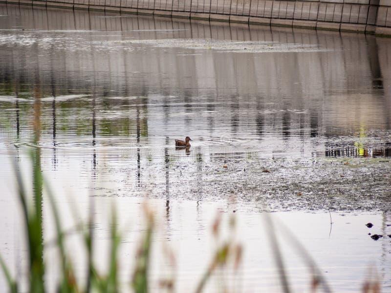 Anatra femminile del germano reale su un lago calmo fotografie stock