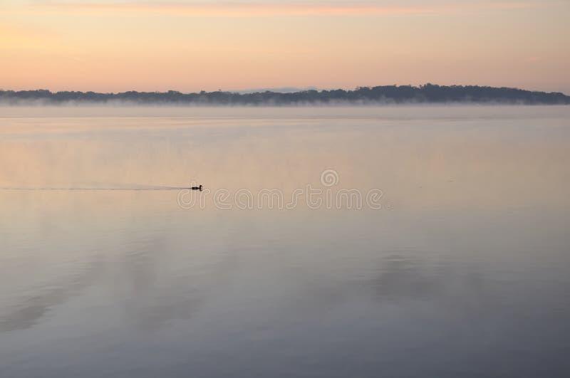 Anatra in foschia ad alba fotografie stock