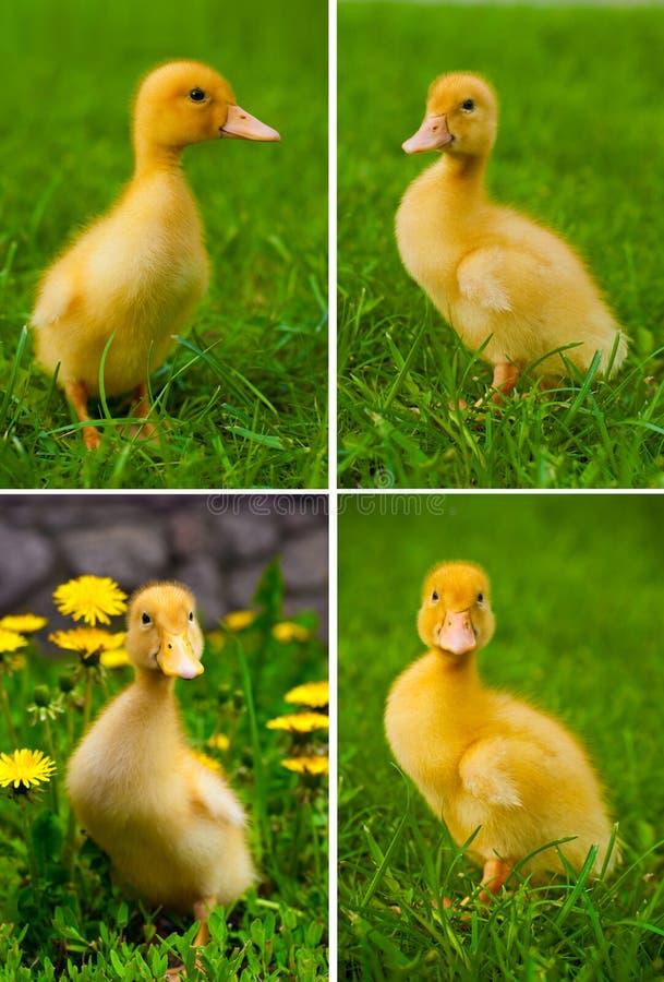 Anatra gialla sveglia sull'erba verde immagini stock libere da diritti
