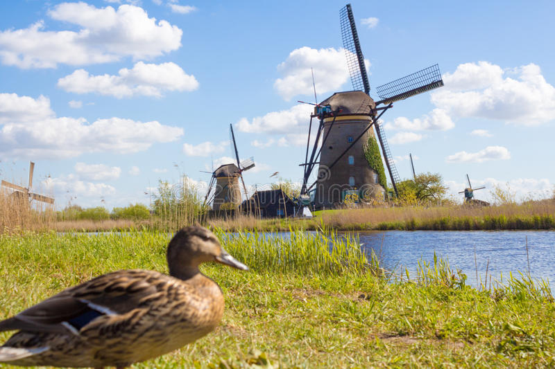 Anatra in Kinderdijk, Olanda fotografie stock libere da diritti
