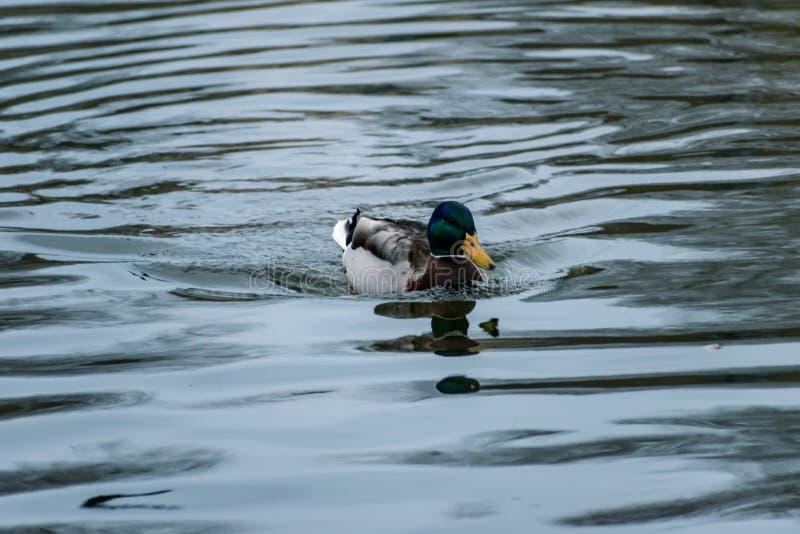 Anatra maschio del germano reale che galleggia sull'acqua fotografia stock