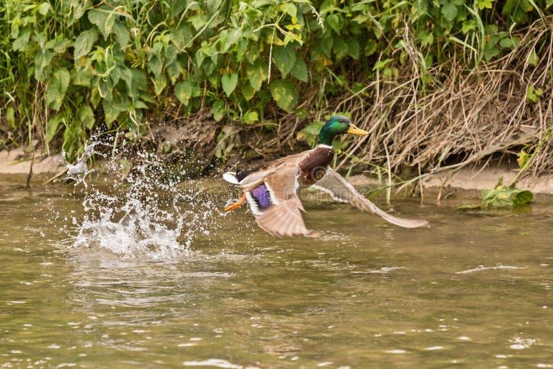 Anatra maschio del germano reale che sorvola il fiume fotografie stock