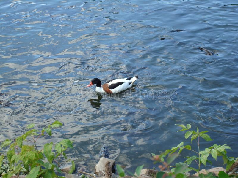 Anatra multicolore che galleggia nel lago immagine stock libera da diritti