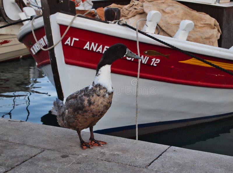 Anatra selvatica e peschereccio greco, Galaxidi, Grecia fotografia stock libera da diritti