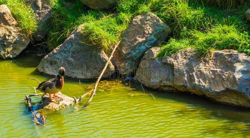 Anatra selvatica in un paesaggio dell'acqua con le rocce che sfregano il suo becco immagini stock