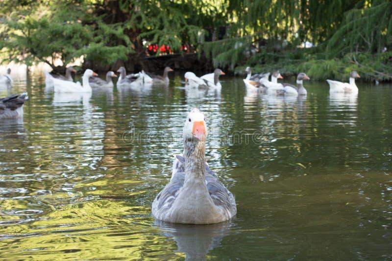 Anatra sul lago fotografie stock libere da diritti