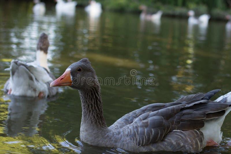 Anatra sul lago fotografia stock libera da diritti