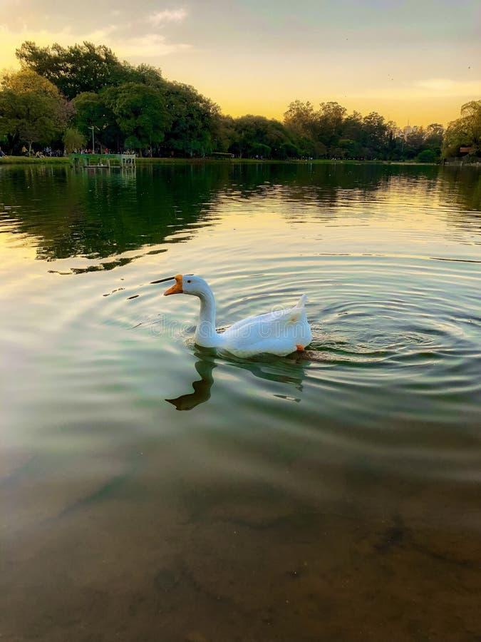 Anatra in un lago fotografie stock libere da diritti