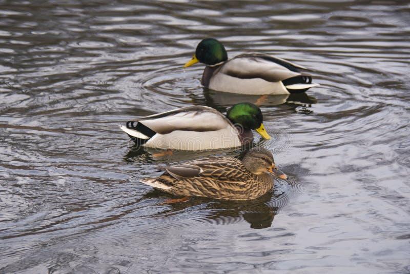 Anatre in acqua, in buon tempo fotografia stock