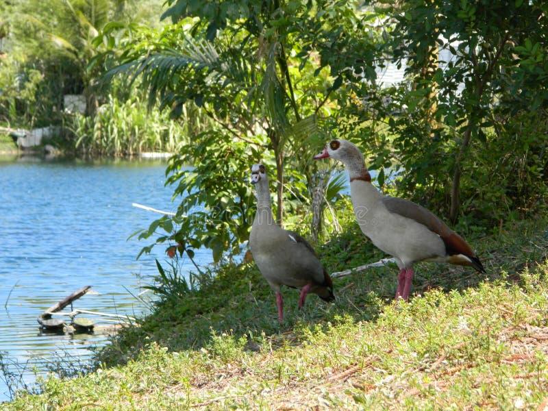 Anatre al bordo di un lago immagini stock libere da diritti