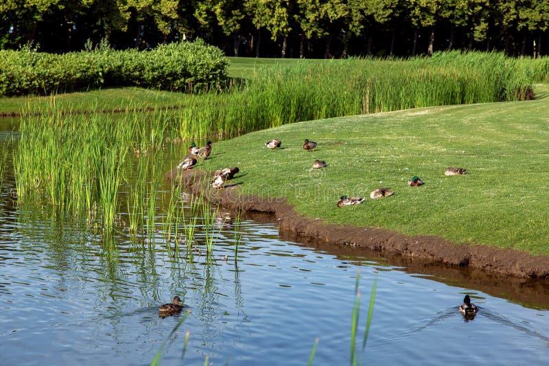 Anatre che galleggiano nell'acqua e che si siedono sull'erba verde fotografia stock