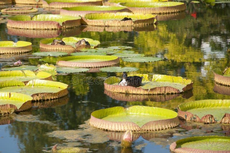 Anatre che galleggiano su Lotus Leaves fotografia stock